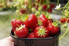 Oogst van verse smakelijke rijpe rode aardbeien die op aardbeilandbouwbedrijf groeien royalty-vrije stock afbeelding
