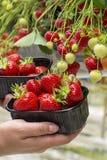 Oogst van verse smakelijke rijpe rode aardbeien die op aardbeilandbouwbedrijf groeien royalty-vrije stock afbeeldingen