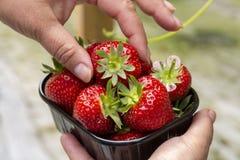 Oogst van verse smakelijke rijpe rode aardbeien die op aardbeilandbouwbedrijf groeien royalty-vrije stock foto's