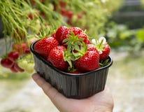 Oogst van verse smakelijke rijpe rode aardbeien die op aardbeilandbouwbedrijf groeien royalty-vrije stock fotografie
