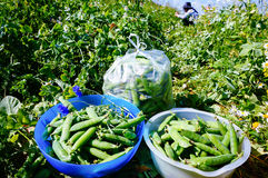 Oogst Verse organische groene erwten in de zomer royalty-vrije stock afbeelding