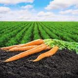 Oogst verse wortelen ter plaatse stock fotografie