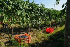 Oogst in wijngaarden in Barolo royalty-vrije stock fotografie