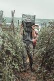 Oogstend de lege kratten van de helpergreep aan het opnemen van rijpe tomaten stock afbeelding