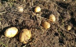 Oogstende aardappels Royalty-vrije Stock Afbeeldingen