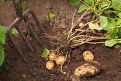 Oogstende Aardappels Stock Afbeeldingen