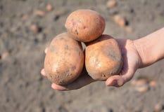 Oogstende aardappels Organische Aardappels in vrouwenhand stock afbeelding