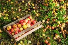 Oogstende appelen Rijpe appelen in een houten doos op groene grasbedelaars stock foto