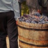 Oogstende druiven Royalty-vrije Stock Foto's