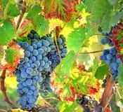 Oogstende druiven royalty-vrije stock foto