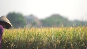 Oogstende Gele Rijst stock video