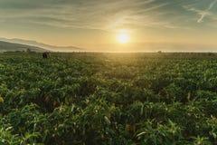 Oogstende helper die rijpe groene paprika opnemen bij aanplanting in het avond zonlicht royalty-vrije stock afbeelding
