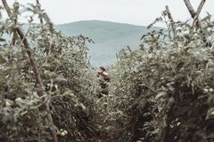 Oogstende helper die verse tomaten opnemen bij groen gebied royalty-vrije stock afbeelding