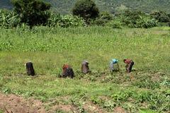 Oogstende helpers op een gebied in Afrika Stock Afbeeldingen