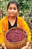 oogstende koffiebessen Royalty-vrije Stock Foto's