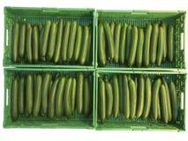 Oogstende komkommers Royalty-vrije Stock Foto's