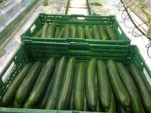 Oogstende komkommers Stock Foto's