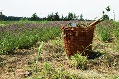 Oogstende lavendel Royalty-vrije Stock Afbeelding