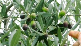 Oogstende olijven stock video