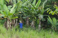 Oogstende Rijpe Bananen stock foto