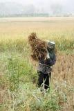 Oogstende rijst stock foto