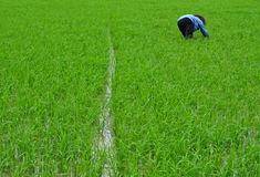 Oogstende Rijst Stock Foto's