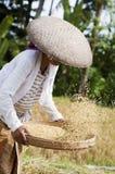 Oogstende rijst Royalty-vrije Stock Foto