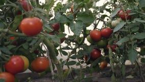 Oogstende tomaten Een landbouwer in een serre die organische tomaten oogsten stock videobeelden