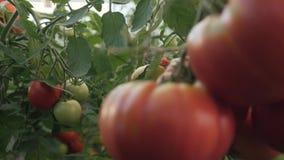 Oogstende tomaten Een landbouwer in een serre die organische tomaten oogsten stock video