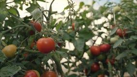 Oogstende tomaten Een landbouwer in een serre die organische tomaten oogsten stock footage