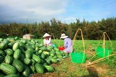 Oogstende watermeloen Royalty-vrije Stock Afbeeldingen
