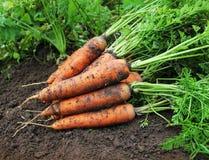 Oogstende Wortelen Verse wortelen die op grond liggen stock afbeelding