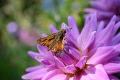 ooh nektaru Obraz Stock