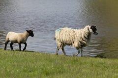 Ooi en lam die door waterenrand lopen stock foto's