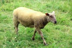 Ooien, een jonge ooi op zijn gebied in de zomer stock afbeelding