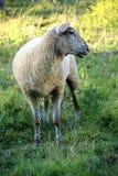 Ooien, een jonge ooi op zijn gebied in de zomer royalty-vrije stock foto