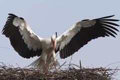 Ooievaar, cigogne blanche, ciconia de Ciconia photographie stock libre de droits