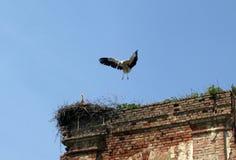 Ooievaar die in een nest landt Stock Foto