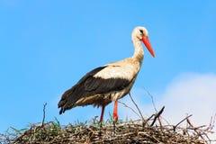 Ooievaar die zich in zijn nest bevindt Stock Afbeeldingen