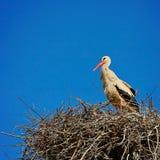 Ooievaar en nest stock foto's