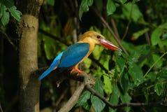 Ooievaar-gefactureerde Ijsvogel Royalty-vrije Stock Afbeelding