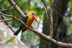 Ooievaar-gefactureerde Ijsvogel Royalty-vrije Stock Fotografie