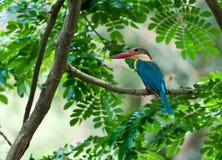 Ooievaar-gefactureerde Ijsvogel die op de tak van de Boom wordt neergestreken Stock Afbeelding