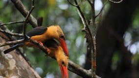 Ooievaar-gefactureerde Ijsvogel en bruin-Gevleugelde Ijsvogel stock videobeelden