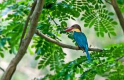 Ooievaar-gefactureerde Neergestreken Ijsvogel, de groene tak van de Boom, Royalty-vrije Stock Afbeelding