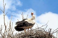 Ooievaar in het nest Royalty-vrije Stock Afbeeldingen