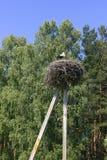 Ooievaar in het nest Royalty-vrije Stock Fotografie
