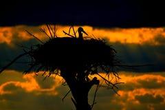 Ooievaar in het nest Royalty-vrije Stock Foto