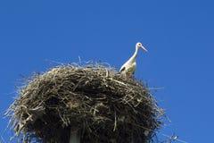 Ooievaar in het nest Stock Afbeelding