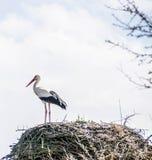 Ooievaar in het nest stock foto
